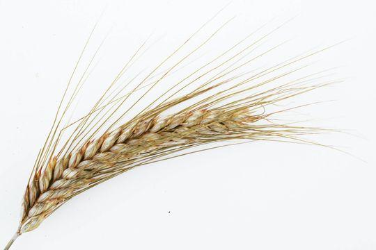Propiedades del salvado de trigo y beneficios para la salud - Featured image
