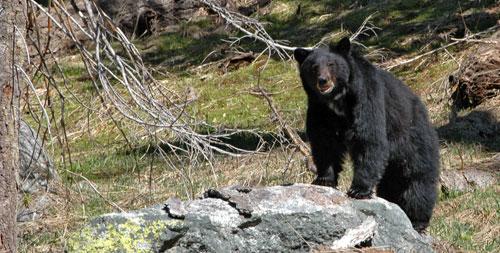 black black bear