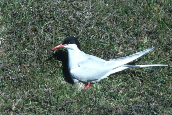 An Arctic Tern with it's egg