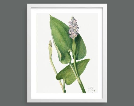 Pickerelweed (Pontederia Cordata) by Mary Vaux Walcott