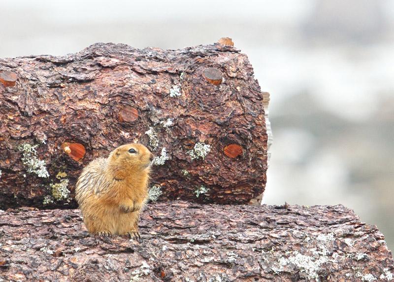 sik sik sitting on a tree stump