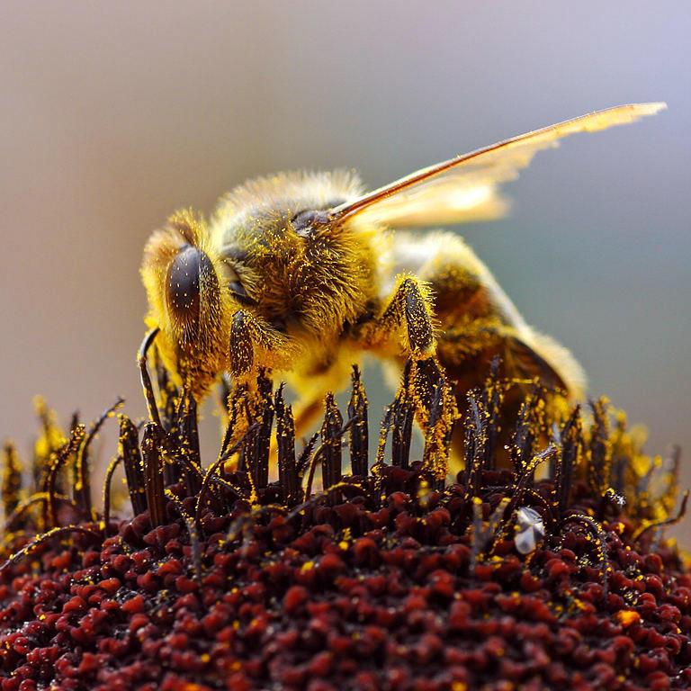Пчела, собирающая пыльцу. Jon Sullivan / ru.wikipedia.org