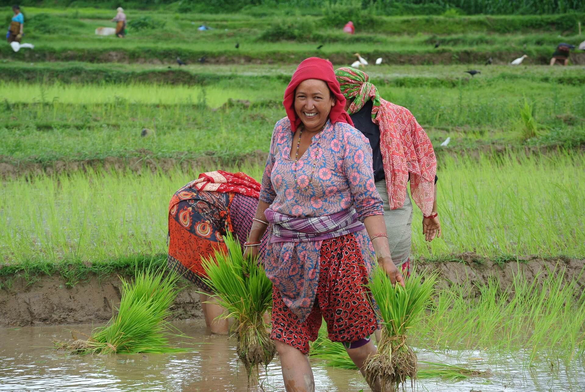 Culture in Nepal - Planting Crops, Rice