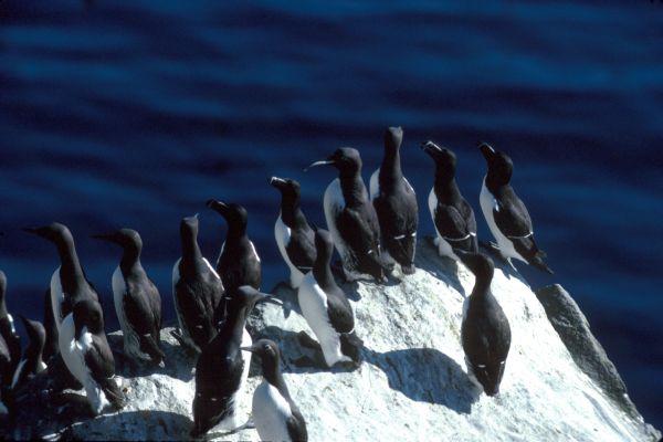 A flock of Guillemots & Razorbills on the cliffside