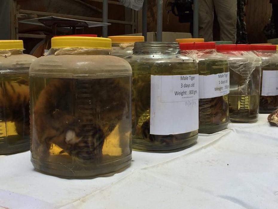 Pickled Tigers from Kanchanaburi, via [Richart Miyer](https://twitter.com/Richart_NOW26/status/738273658137804801)