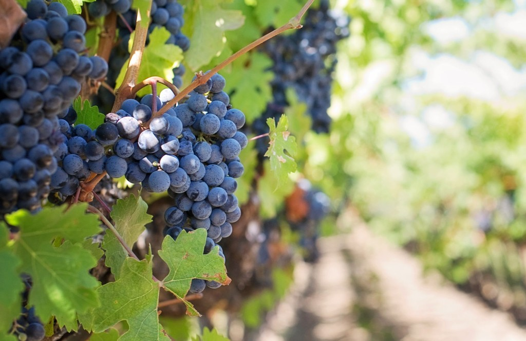 Grapes growing on a vine in a sunny vineyard