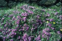 A patch of Wild Thyme grows next to a wall.