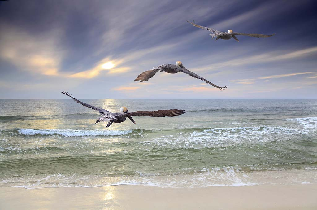 Three Brown Pelicans fly out to sea