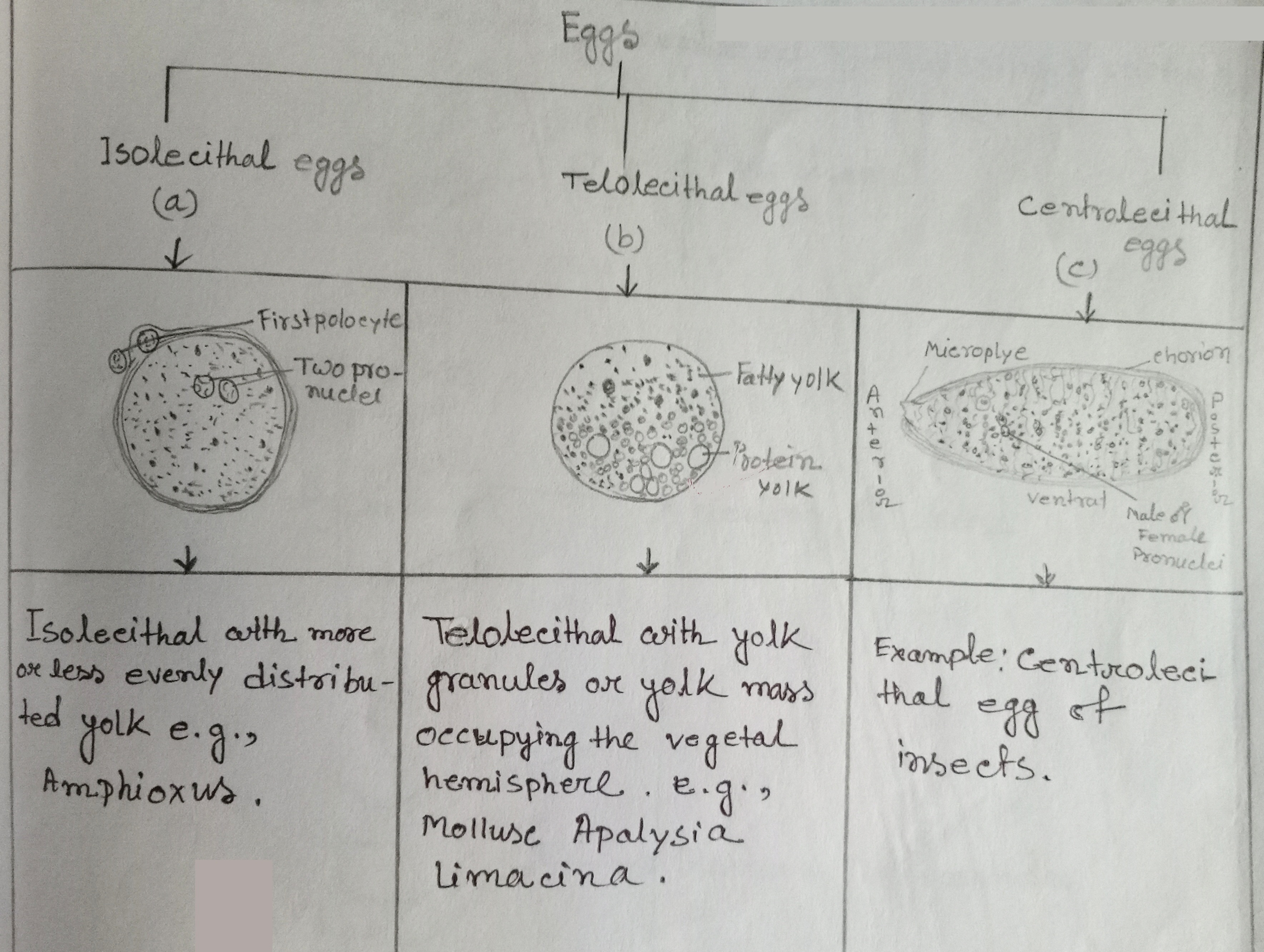 A chart of animals eggs on the basis of location of yolk
