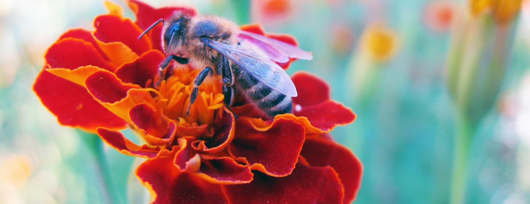 Пчела, собирающая нектар набархатце. Фото: Anaxibia / ru.wikipedia.org