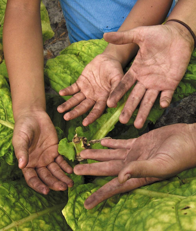 Children's hands on tobacco plant