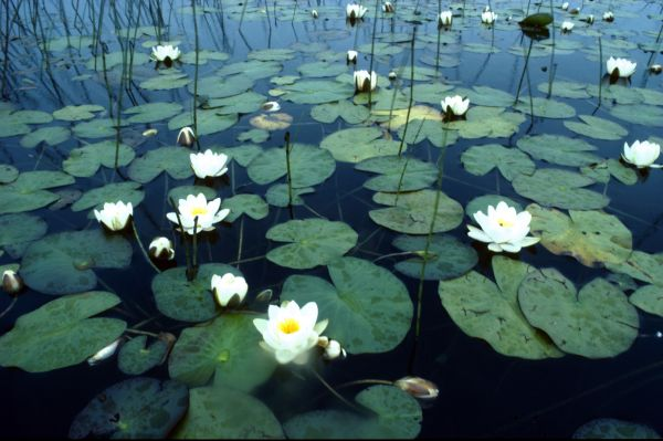 White Water-lilies on a loch
