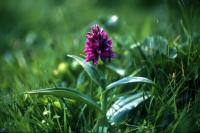 An Early Marsh-Orchid growing in a grassy area