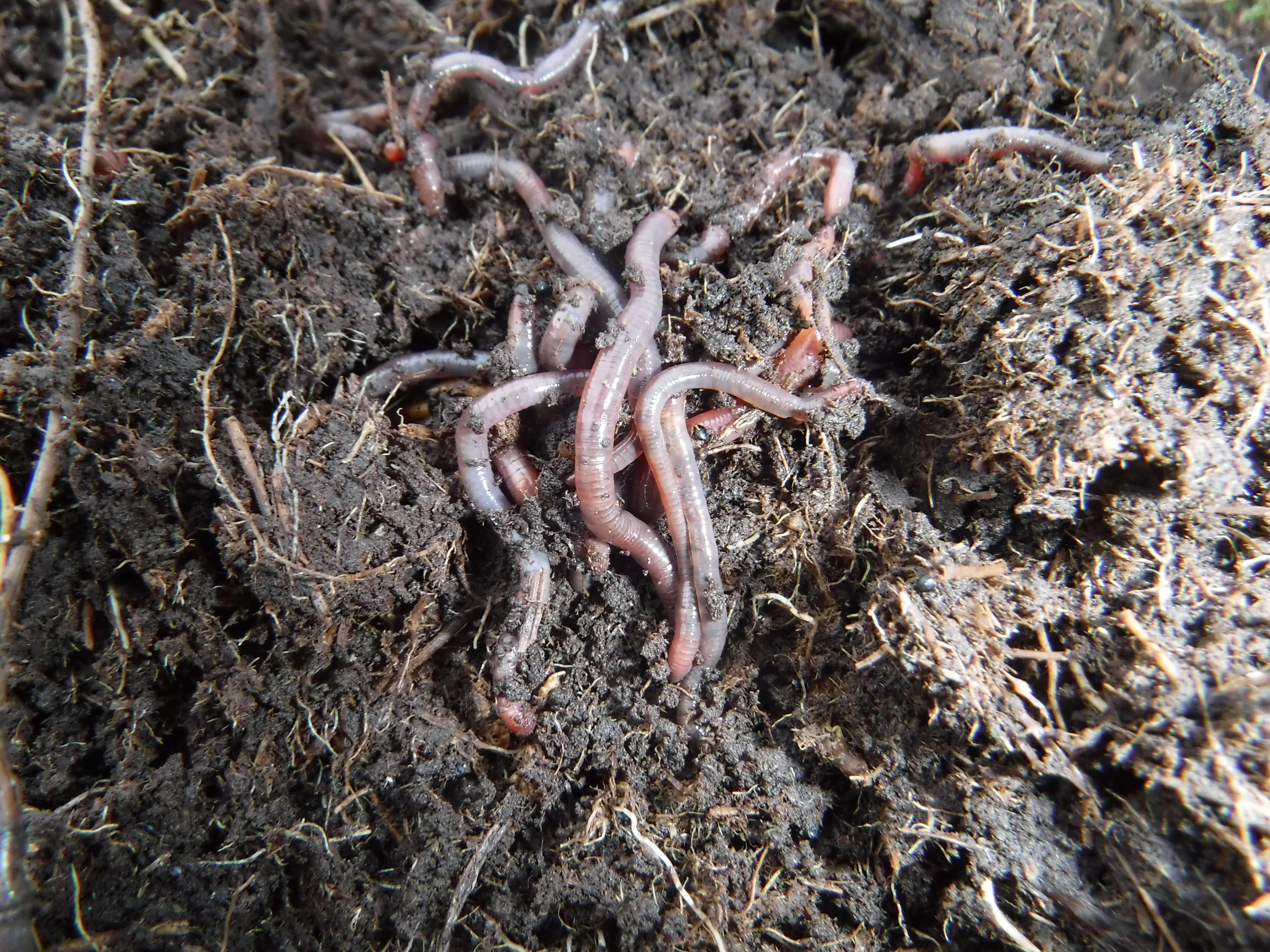 Earthworms_NorthRoe.jpg