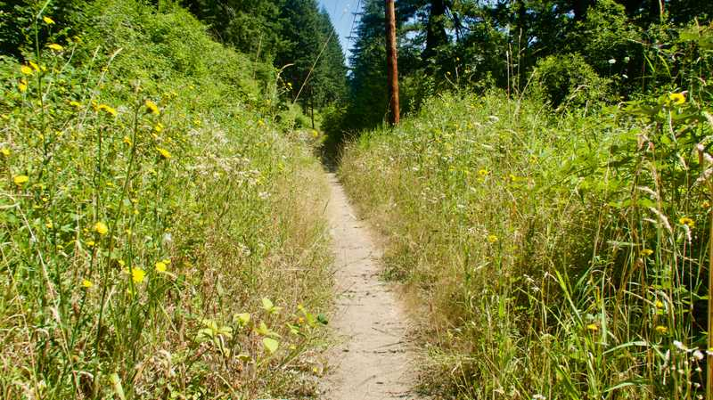 Tall weeds along the PCT