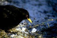 A Blackbird on a snowy day