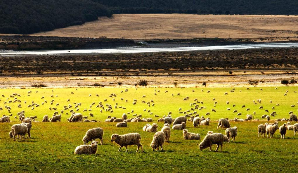 Sheep in large field