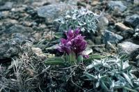 Early Purple Orchid growing on the Keen of Hamar