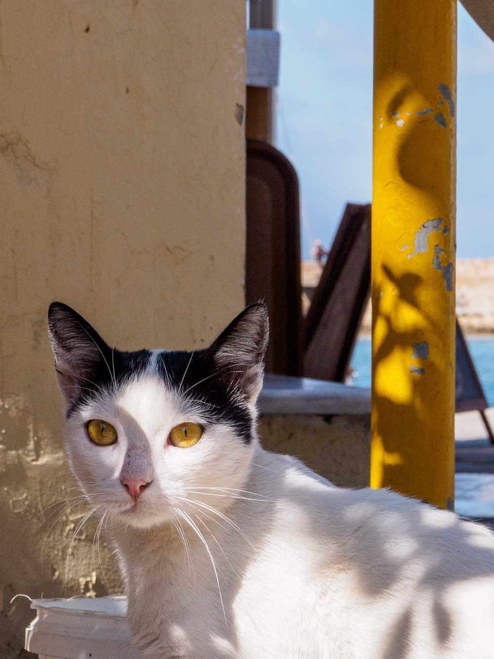 Antigoni restaurant's cat, Chania, Crete