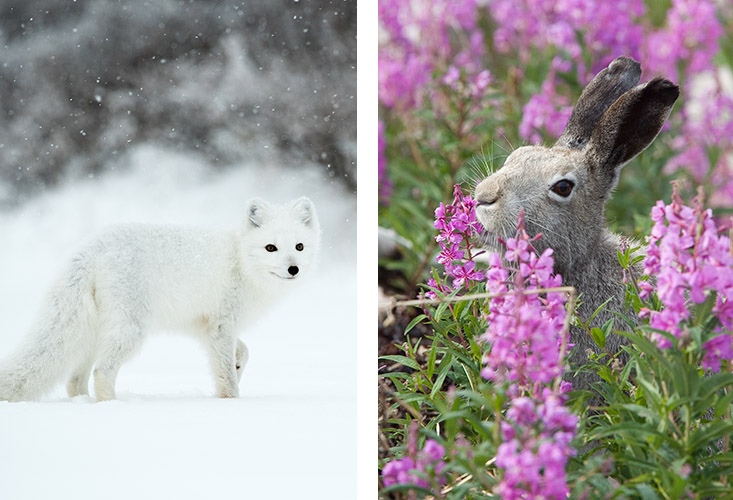 white arctic fox in snow and brown arctic hare in flowers