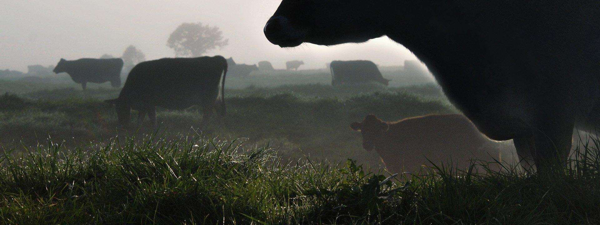 Kor på äng