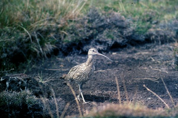 A Curlew walks on bare earth