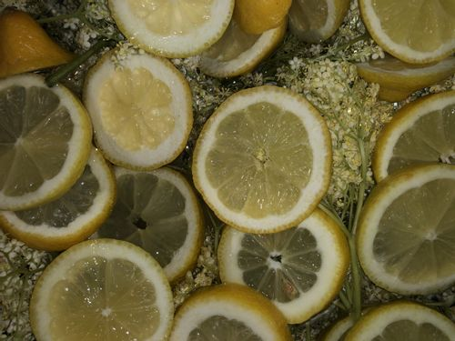 Elderflower foraging for homemade cordial
