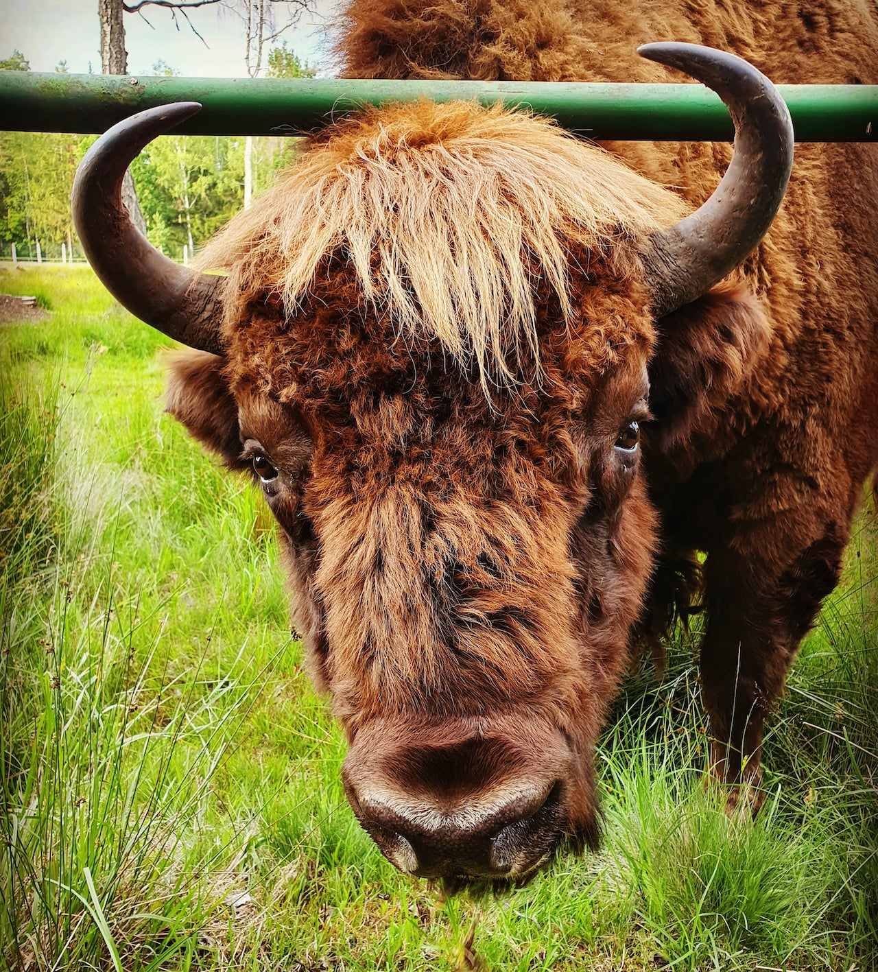 The famous bison Misha, who joined a herd of cows in Kobrin district. Belovezhskaya Pushcha. Summer Photo by A.Basak