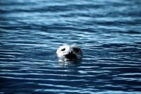 A Common Seal watching the shore.