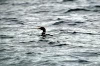 White- Billed Diver