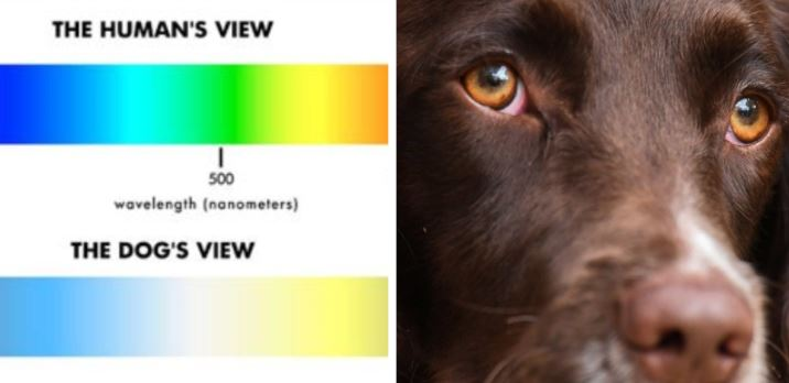 dog eyes and comparison of dog's vision compared to humans