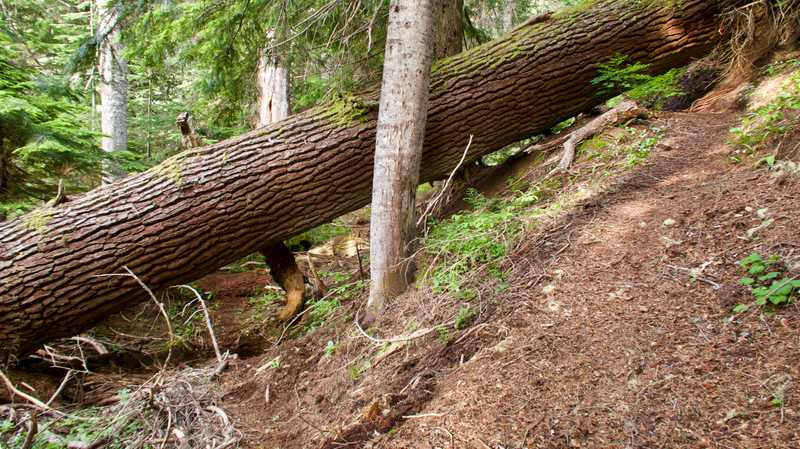 A large tree fallen over the trail