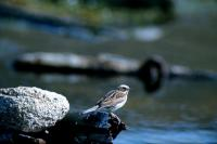 A Reed Bunting perched on driftwood
