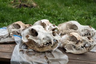 dog skulls detroit