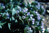 Oysterplant flowers in close-up