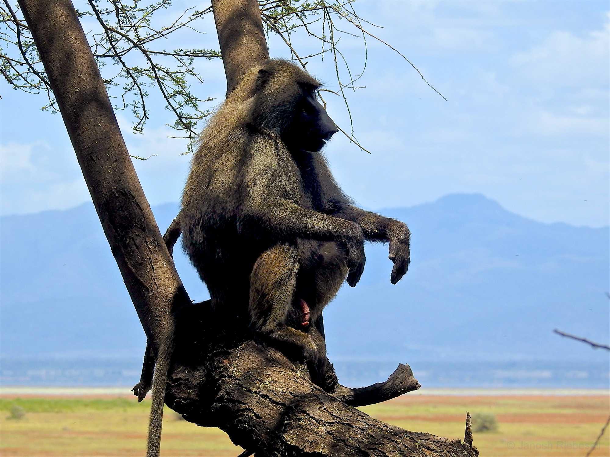 Tanzania Baboon Lookout
