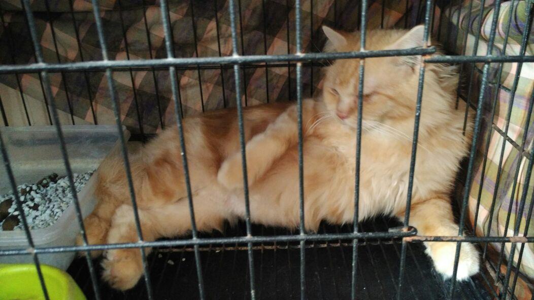 Tips Perawatan Bulu Kucing Anggora dan Persia