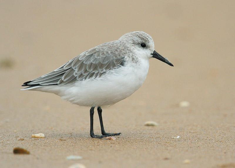Maçarico-branco, ave que se alimenta  no limo e lodo. Frequentemente vista procurando invertebrados na areia da praia. Suas pernas e seu bico longo servem para que a ave fique fora da água enquanto procura por alimento.