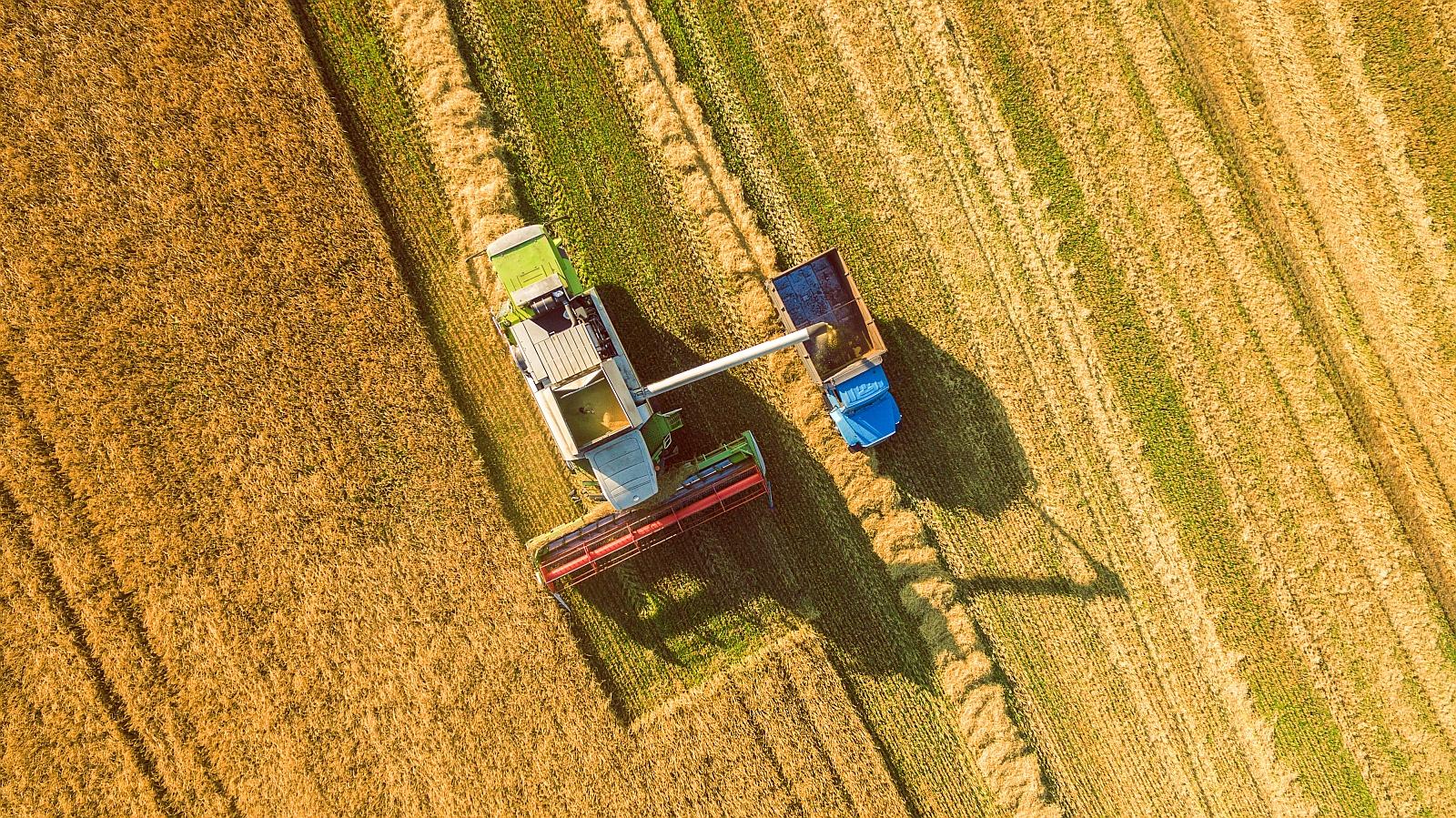 harvesting grain