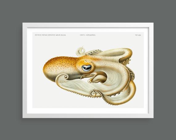 Squid vintage print
