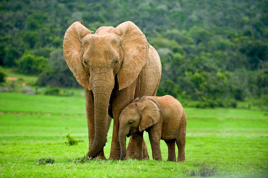 Long Memory of Female Elephants is Responsible for the Well Being of their Families