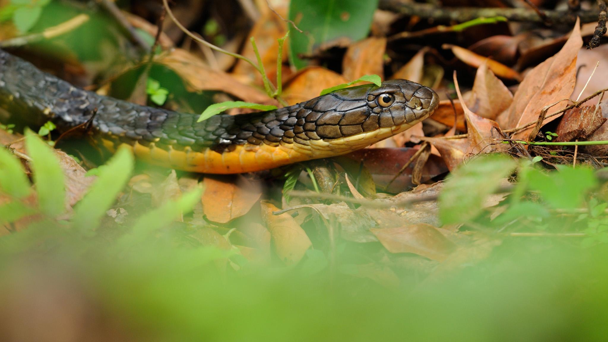 Cobra real en su hábitat