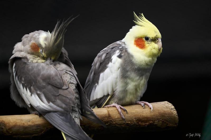 Calopsitas macho e fêmea empoleirados. A fêmea está de costas e seu bico está escondido nas penas das costas.