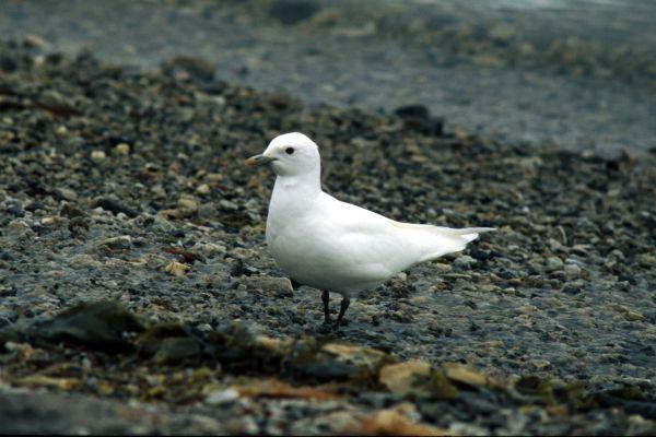An Ivory Gull on the beach