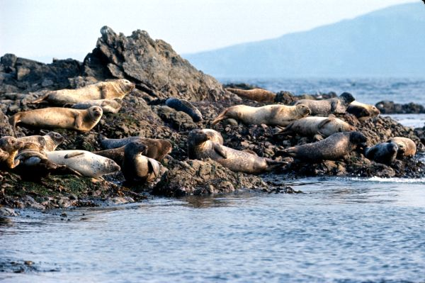 Common Seals basking on the shore