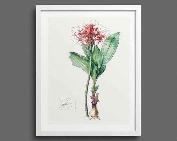 Paintbrush Lilly (Haemanthus) by Pierre-Joseph Redouté