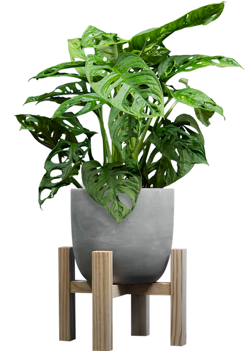 Monkey Mask (Monstera adansonii ) - from £16