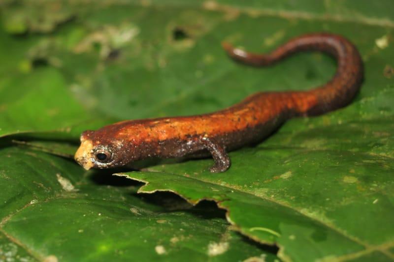 Salamandra endêmica do Brasil, descoberta em 2013 - Bolitoglossa Caldwellae. Imagem de Tomaz Nascimento de Melo via Inaturalist.org