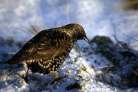 A Starling on a snowy day