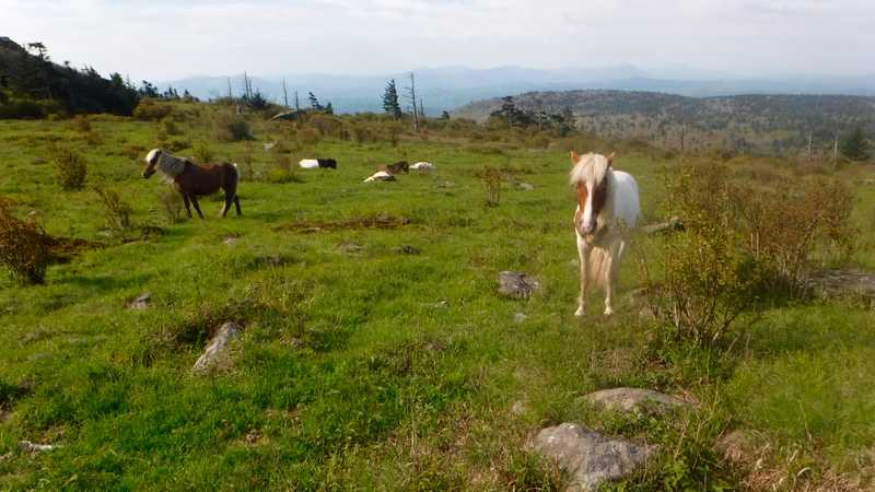 Ponies in Grayson Highlands